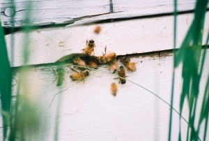 Bear Munchies… Dad's honeybees.